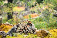 Beige and Black Chipmunk Standing on Grey Rocks Beside Green Tree Plants Royalty Free Stock Photos