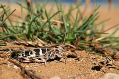 Beige and black coloured grasshopper (Acrididae) Royalty Free Stock Photos