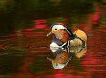 Beige Black Mandarin Duck on Red Waters during Daytime Stock Photos