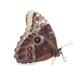 Beige and blue butterfly isolated Stock Image