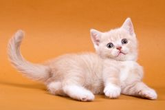 Beige British cat kitten on an orange. Background royalty free stock photos