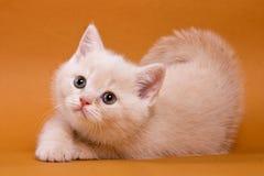 Beige British cat kitten on an orange. Background royalty free stock photo