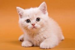 Beige British cat kitten on an orange. Background royalty free stock images
