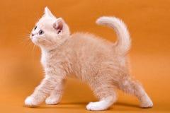 Beige British cat kitten on an orange. Background stock photo