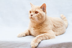 Beige british cat Stock Image