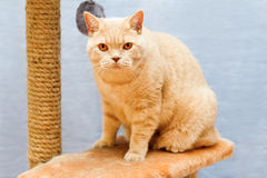 Beige british cat sits on a cat tower Stock Photography