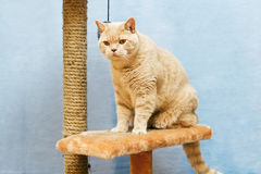 Beige british cat sits on a cat tower Stock Image