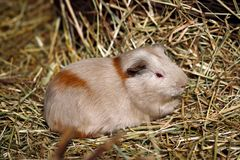 Beige-brown domestic guinea pig Cavia porcellus cavy on the st. Close-up of beige-brown domestic guinea pig Cavia porcellus cavy on the straw. Photography of Royalty Free Stock Images