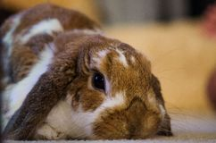 Beige/Brown Holland Lop Rabbit lizenzfreie stockfotografie
