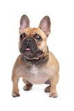beige bulldoggfransman Royaltyfri Bild