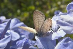 Beige Butterfly. Or moth on lavender flowers Royalty Free Stock Photo