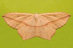 Beige butterfly. Stock Image