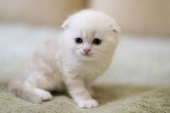 Beige cat breed Scottish Fold sitting on  couch Royalty Free Stock Images