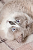 Beige cat Royalty Free Stock Images