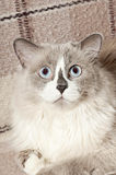 Beige cat Stock Images