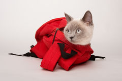 Beige cat in a red bag, on white background Stock Image
