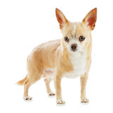 Beige chihuahua dog isolated on white background. Royalty Free Stock Photography