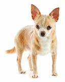 Beige chihuahua dog isolated on white background. Royalty Free Stock Photo