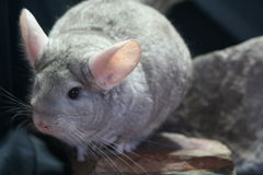 Beige Chinchilla Royalty Free Stock Images