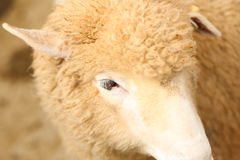 Beige Coat Sheep on Close Up Photography Royalty Free Stock Photography