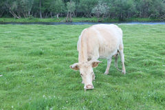 The beige cow is grazed on the riverbank. The  cow is grazed on the riverbank Royalty Free Stock Photos