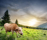 Beige cow on green pasture Royalty Free Stock Images