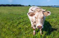 Beige cow with horns coming close to the photographer Royalty Free Stock Images