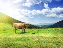 Beige cow on lush pastures Stock Photography