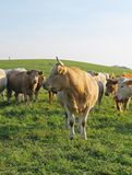 Cows. Beige cow and some more ones behind it on the pasture Royalty Free Stock Photo