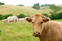 Beige cows cattle  eating in green  meadow Stock Photography