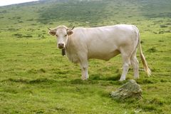Beige cows cattle  eating in green  meadow Stock Photos