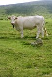 Beige cows cattle  eating in green  meadow Royalty Free Stock Photography
