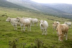 Beige cows cattle  eating in green  meadow Stock Images