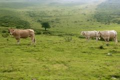 Beige cows cattle  eating in green  meadow Royalty Free Stock Photos