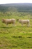 Beige cows cattle  eating in green  meadow Royalty Free Stock Photo