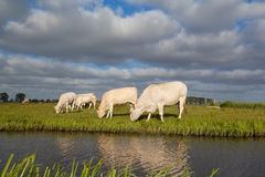 Beige cows graze on pasture Stock Photography