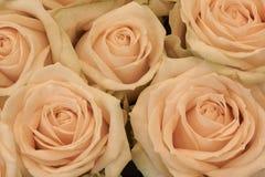 Beige creamy roses Royalty Free Stock Photos