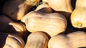 Beige decorative pumpkins at straw in sunlight autumn background, selective focus, shallow DOF.  royalty free stock photo