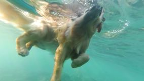 Beige dog, labrador, floats in the sea among coral reefs. View under the water. Slow motion. Andaman sea. Thailand stock footage