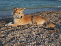 Beige dog lying on sand by the sea shore Royalty Free Stock Photography