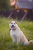 The beige dog sits on a grass in rural areas. Royalty Free Stock Photos