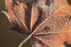 Beige dry frosted maple leaf close up. Artistic nature abstract of dry frosted maple leaf in sunlight, extremely shallow depth of field focus Royalty Free Stock Images