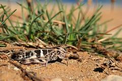 Beige e cavalletta colorata il nero (Acrididae) Fotografie Stock Libere da Diritti