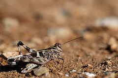 Beige en zwarte gekleurde sprinkhaan (Acrididae) Stock Foto