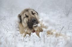Beige färgSivas Kangal hund som sover i snö royaltyfri bild