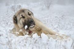 Beige färgSivas Kangal hund som sover i snö fotografering för bildbyråer