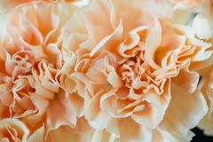 Beige flower carnation. floral background of carnations in pastel colors. Close up, macro Royalty Free Stock Photo
