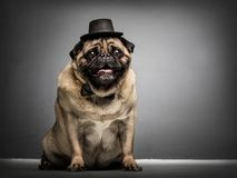 Sir pug dog in a cylinder and bowtie. Stock Photo