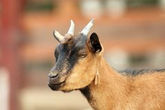 Beige goat with small horns. Young beige male goat with  small horns Stock Photography