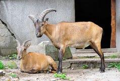 Beige goats couple Stock Photo